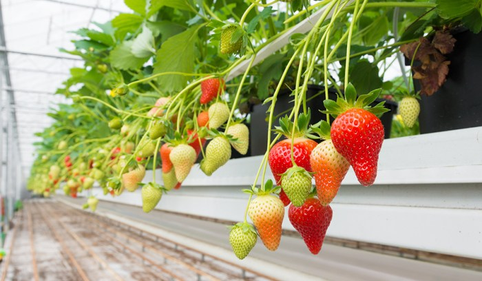 perfect strawberry plants