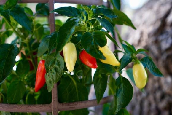 Garden jalapeños © 2018 ericarobbin.com