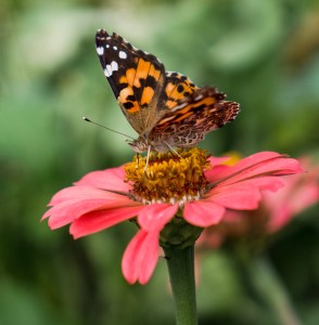 Black and Orange Butterfly on Bright Pink Flower | Erica Robbin