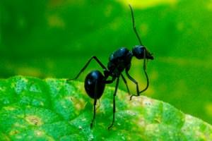 Docile Ant, Malawi | Erica Robbin