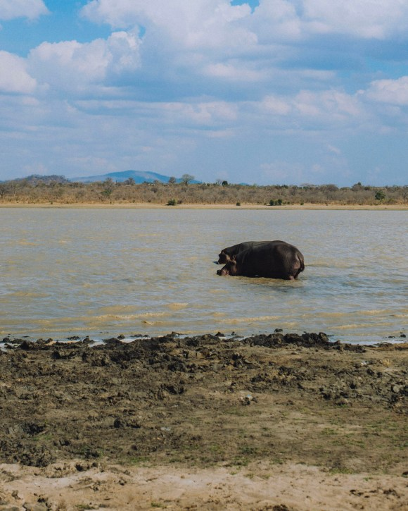 Hippo in the Water, Malawi, Africa | Erica Robbin