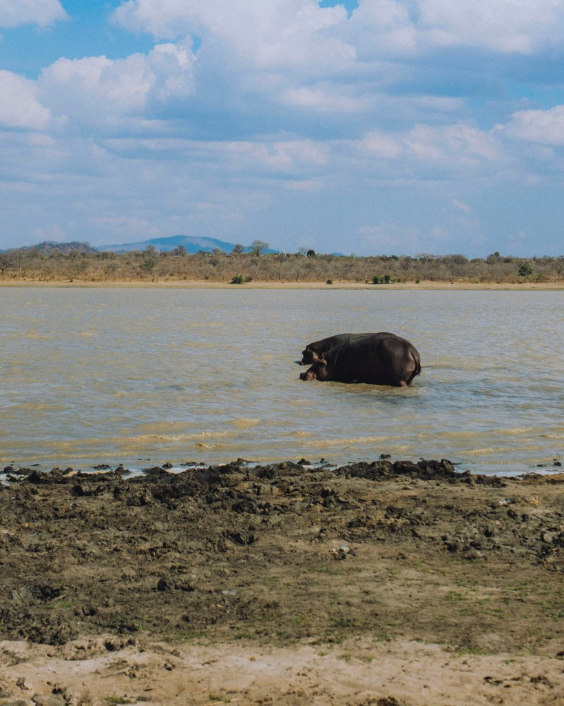 Hippo in the Water, Malawi, Africa   Erica Robbin