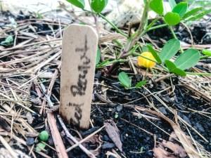 Spanish Peanut Plant | Erica Robbin