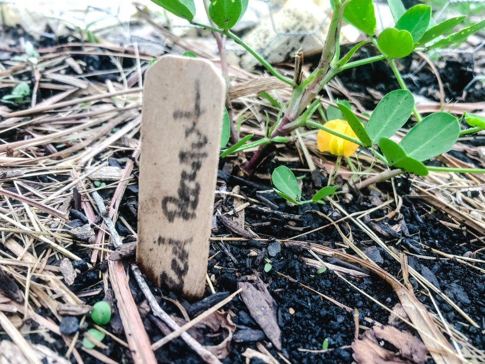 Spanish Peanut Plant   Erica Robbin
