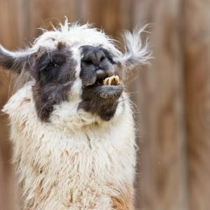 bad-hair-day---alpaca-1395419-m