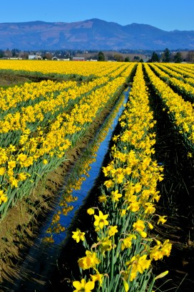 Daffodils in Skagit Valley, WA