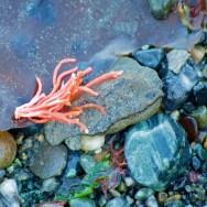 Coral kelp root