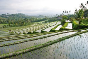 The Rice I'll Eat Grows Here