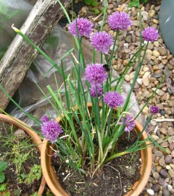 chives and a tumbling bee