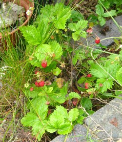strawberries growing where they please