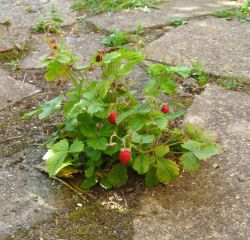 wild starwberries growing where they will