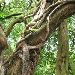 gnarled and knobbled