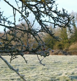 hawthorn tree on a frosty morning