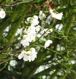 fragile and pale blossoms