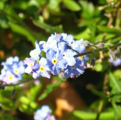blue and yellow forget me nots