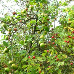 apples-and-rosehips