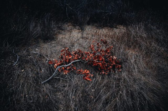 Fallen red tree branch. Orange County, 2017