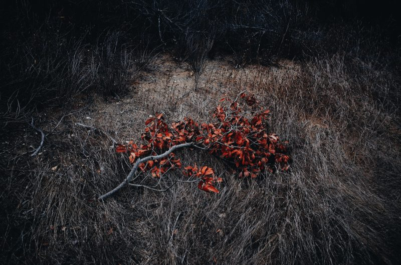 Fallen red tree branch. Orange County, 2017