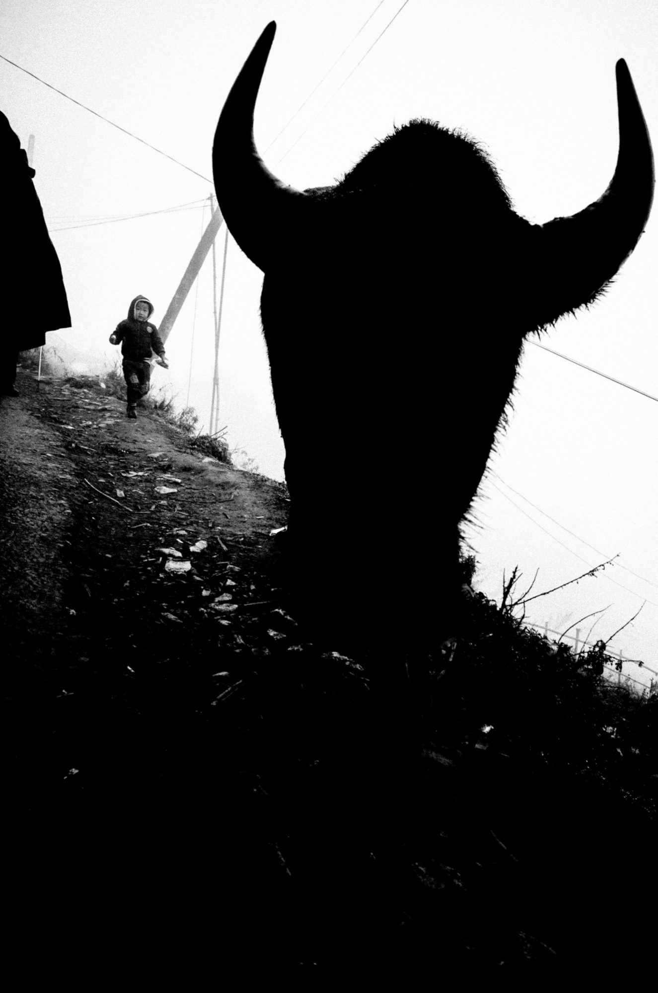 """The devil silhouette of the bull """"about to"""" collide directly with you. The effect of shooting head-on with a wide-angle 28mm lens."""