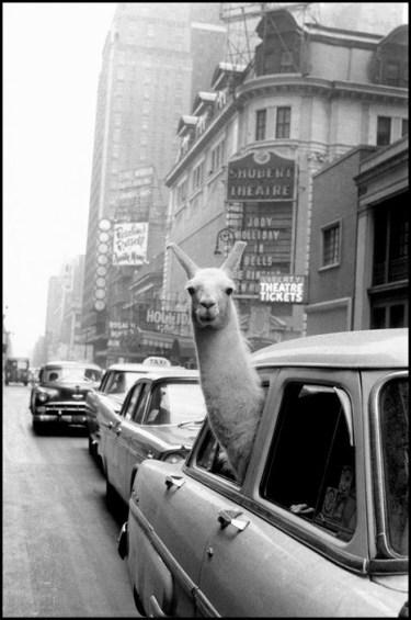 USA. New York. Manhattan. 1957. A Llama in Time Square. ©Inge Morath/MAGNUM PHOTOS
