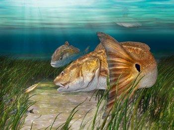 Redfish painting art print