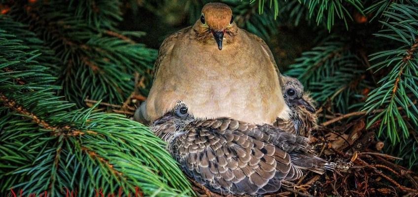 Le pigeonneau, une volaille pleine de saveur et facile à cuisiner