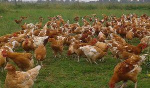 Découvrez comment l'élevage de volailles de Loïc Rompillon a été créé