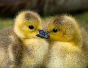 Découvrez comment la traçabilité de l'élevage de canard est respectée