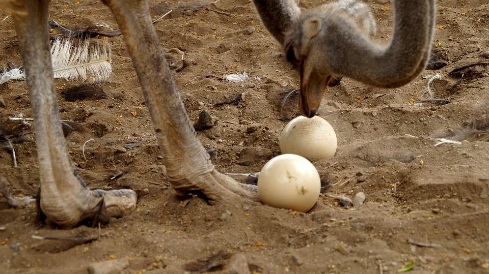 œuf d'autruche