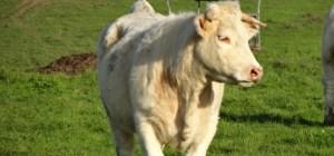 Les vaches sont nourries à l'herbe chez Éric Pineau
