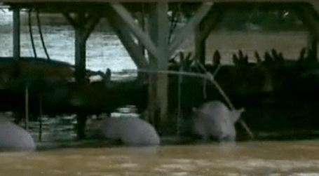 Hogs in Iowa after flooding in Oakville Iowa hundreds of pigs died