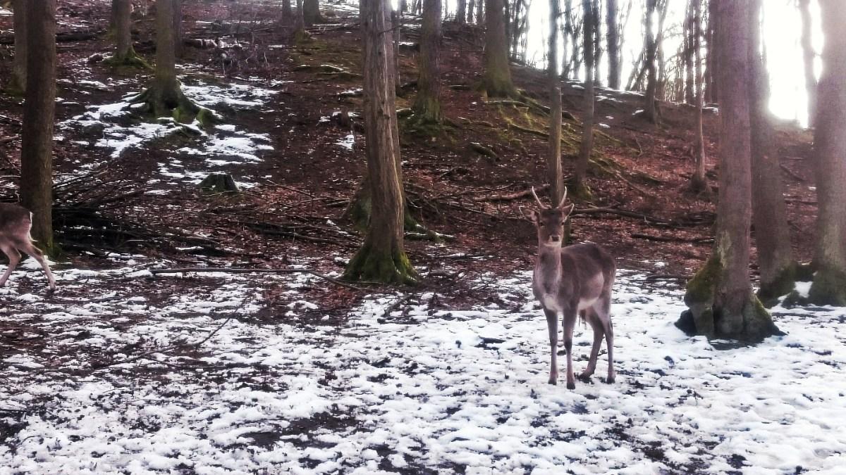 A deer in Obora Holedna PIC: JS