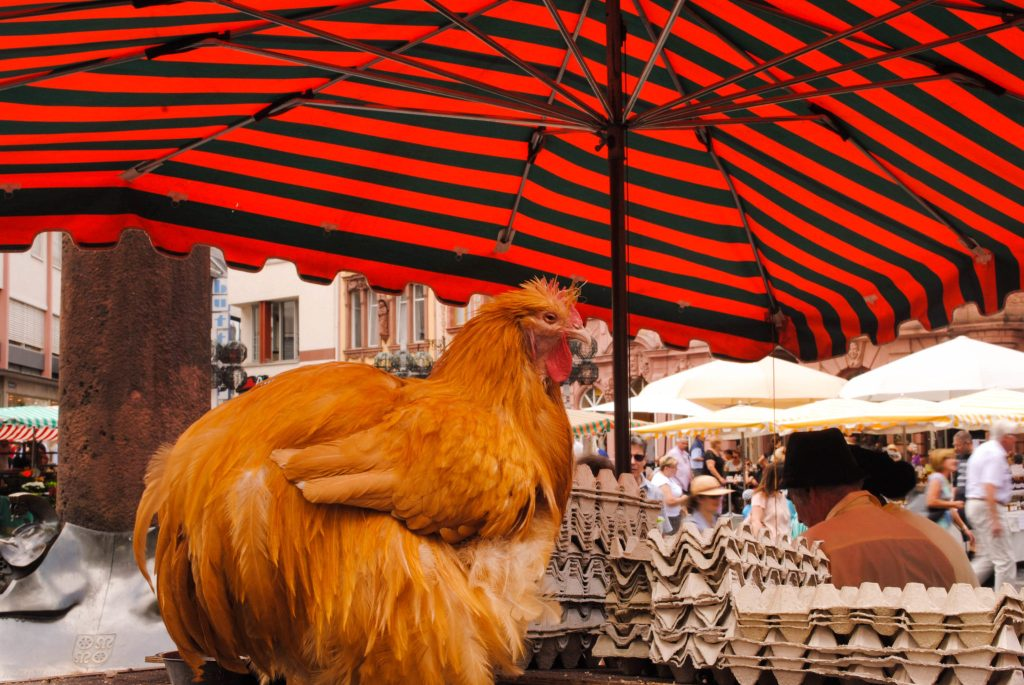 Chicken hanging out with some eggs at the weekly market in Mainz.