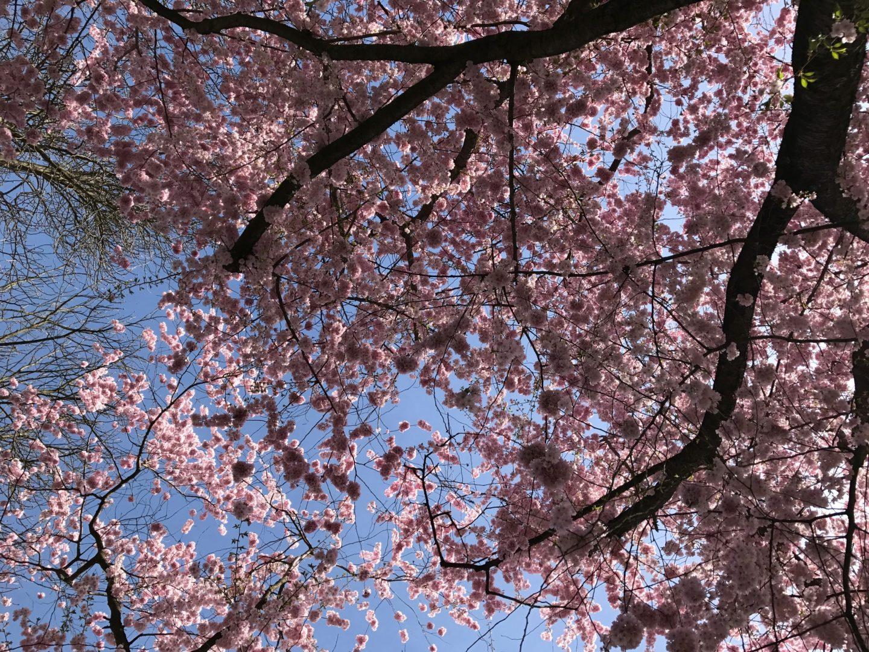 Pink cherry blossoms at Schlossgarten Schwetzingen