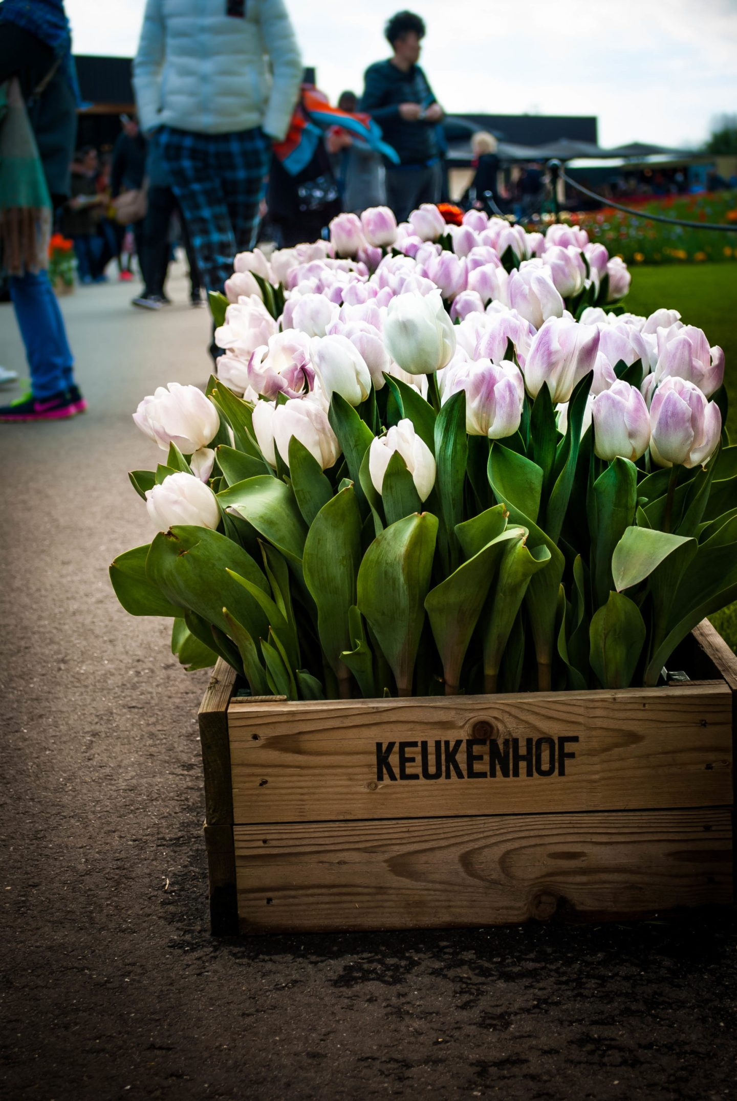 Visit the Keukenhof Tulips