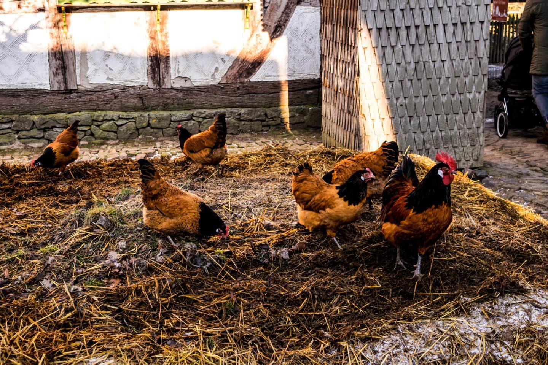 Colourful local chickens