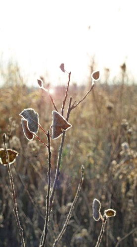 Frost-tinged leaves in the morning sunlight