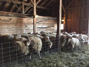 sheep waiting
