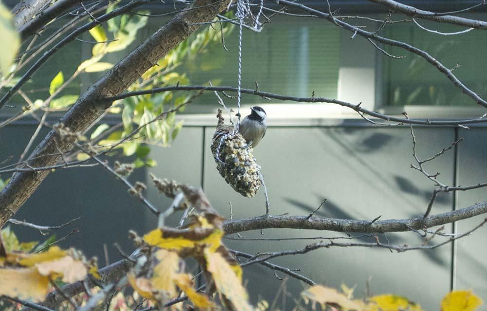 pinecone bird feeder 2sm