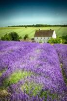 Lavenda in Provence