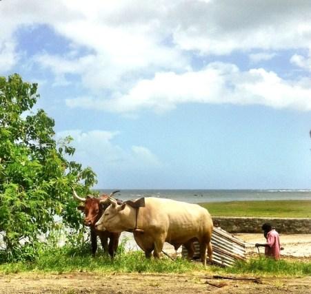 Bullocks pulling sand
