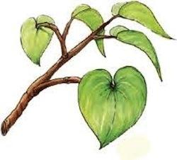 Kava leaf sketch