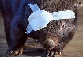Wombat with an eye patch