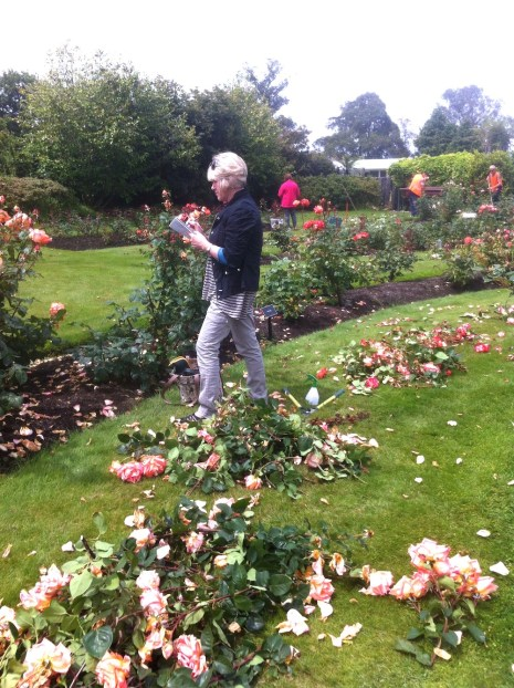Janice among Rose cuttings
