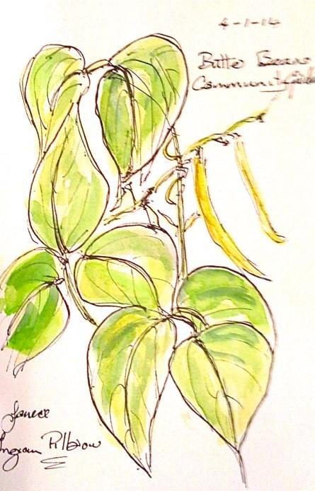Butter beans, community garden. Jan 4 '14