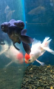 Friday Goggle eye goldfish