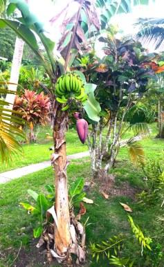 Sunday Fiji. Banana and flower