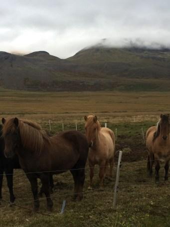 Icelandic Ponies!