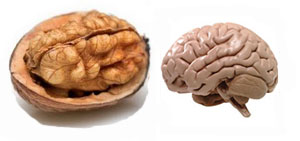 walnut brain2
