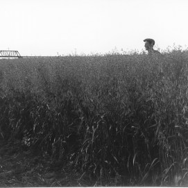 Wm. Notman & Son. Oat field, F. Carpenter's farm, Battleford, SK, 1920, 1920. Silver salts on film, (20 x 25 cm). McCord Museum VIEW-8546